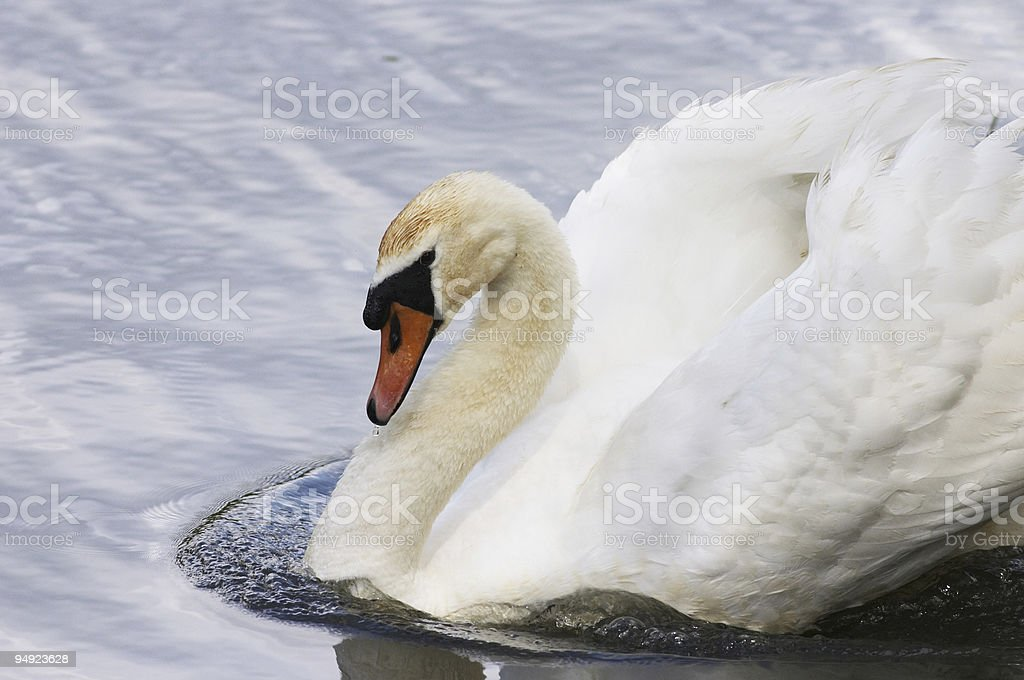 Aggressive male mute swan Cygnus olor makes bow wave stock photo