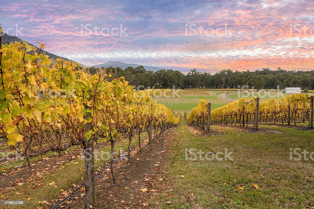 Rovs of yellow leafed fines at Vineyard in Yarra Valley stock photo