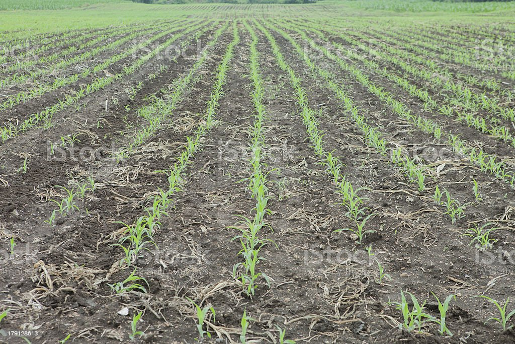 Row corn seedlings royalty-free stock photo