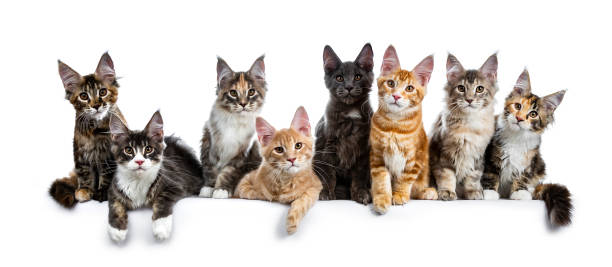 Row group of eight multi colored maine coon cat kittens sitting on picture id1034355820?b=1&k=6&m=1034355820&s=612x612&w=0&h=8bnflxfg1ulsio8bkdv77mog0e49pu6 f85yiwp4oba=