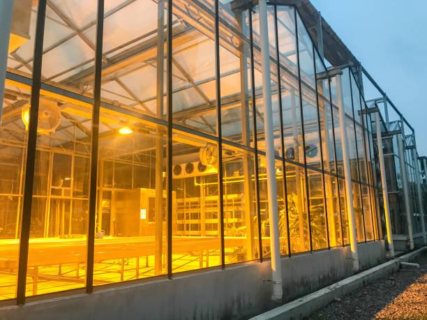 빛과 녹색 집에 행 성장 대마초 마리화나 식물 스톡 사진