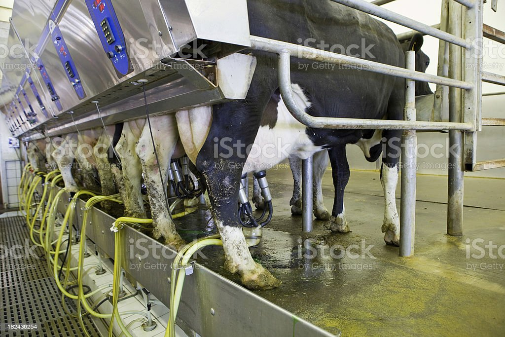 Row of 12 Cows Miliking stock photo