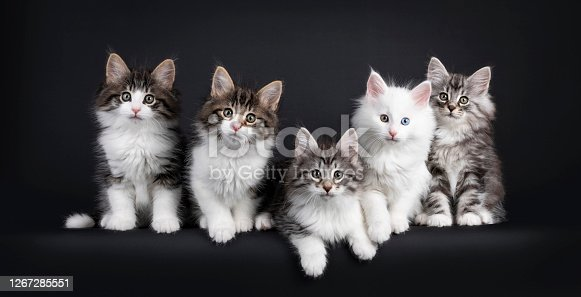 Row of five Norwegian Forestcat kittens sitting beside each other in perfect row, all looking curious to camera. Isolated on black background.