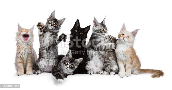 824824466 istock photo Row of 7 Maine Coon cat / kittens acting funny isolated on a white background 909591984