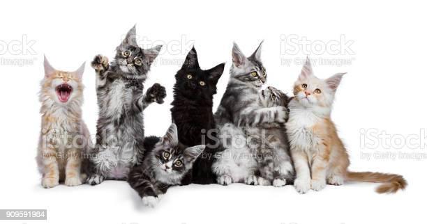 Row of 7 maine coon cat kittens acting funny isolated on a white picture id909591984?b=1&k=6&m=909591984&s=612x612&h=dyex2wme hsxuvyral wiikoidpfmxxws fj093kibs=