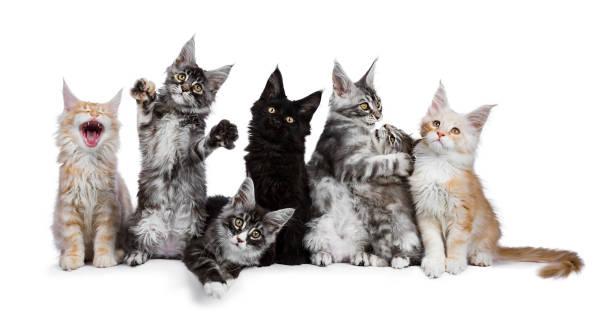 Row of 7 maine coon cat kittens acting funny isolated on a white picture id909591984?b=1&k=6&m=909591984&s=612x612&w=0&h=05mjmioe226t6kdn8vdrttnbvq0i319y veadjfhkcs=