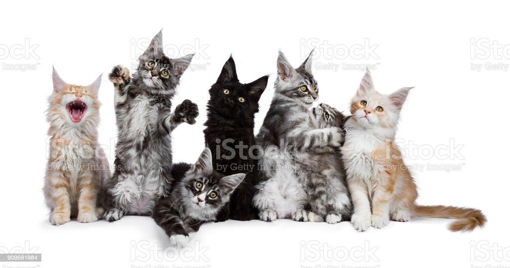 Rij van 7 Maine Coon katten / kittens die grappig geïsoleerd op een witte achtergrond foto