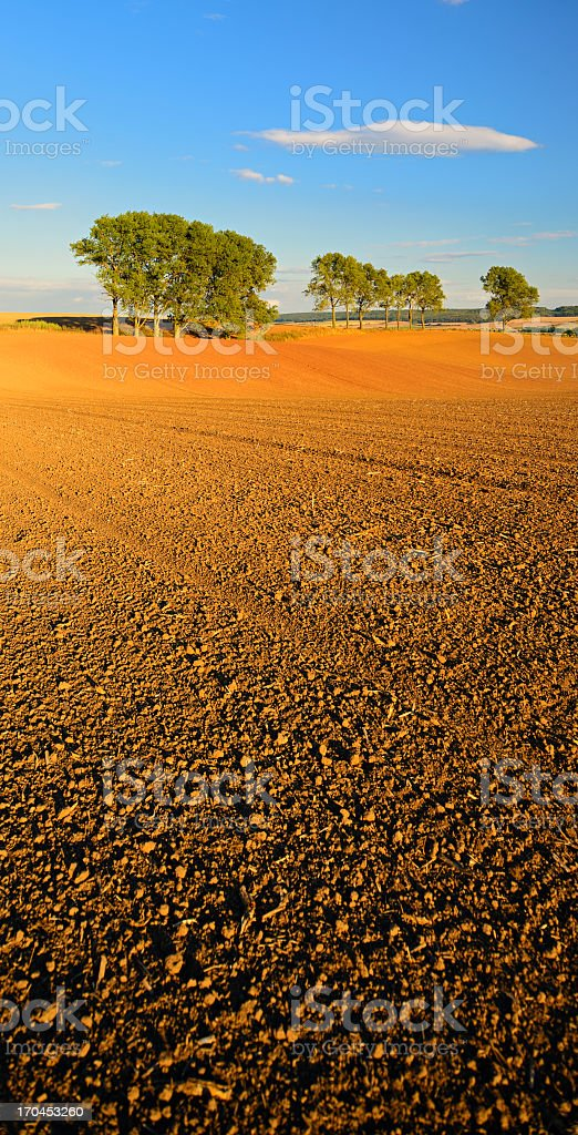 Row of Aspen Trees by Plowed Field at Sunset royalty-free stock photo