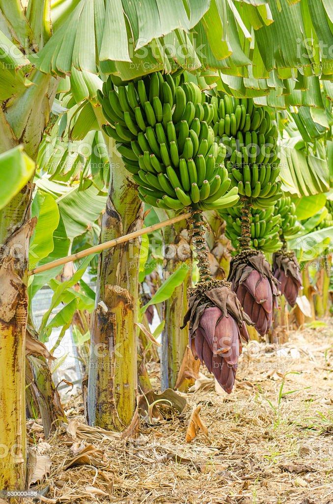 Row of banana trees. stock photo