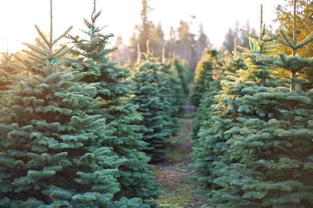 Rangée d'arbres de Noël magnifique et palpitante - Photo