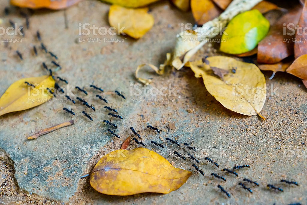 Row of black ant in the garden. stock photo
