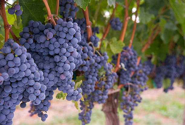 Row of Blue Fruit Grapes Still on Vines Farmers Vineyard Grapes still growing ripe and ready in the Vineyard merlot grape stock pictures, royalty-free photos & images