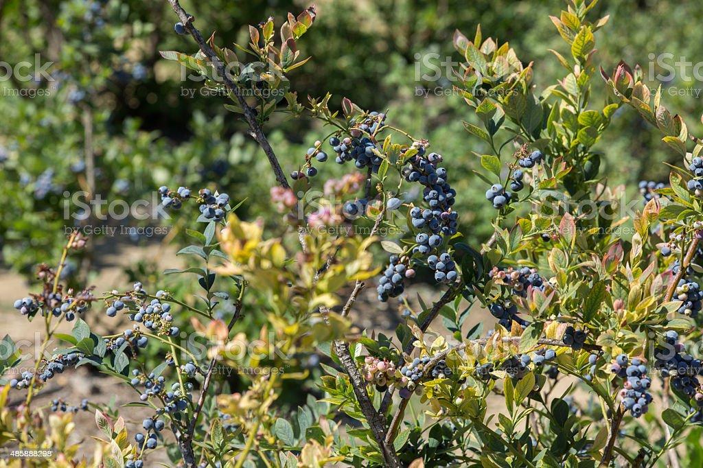 Row Of Blueberries stock photo