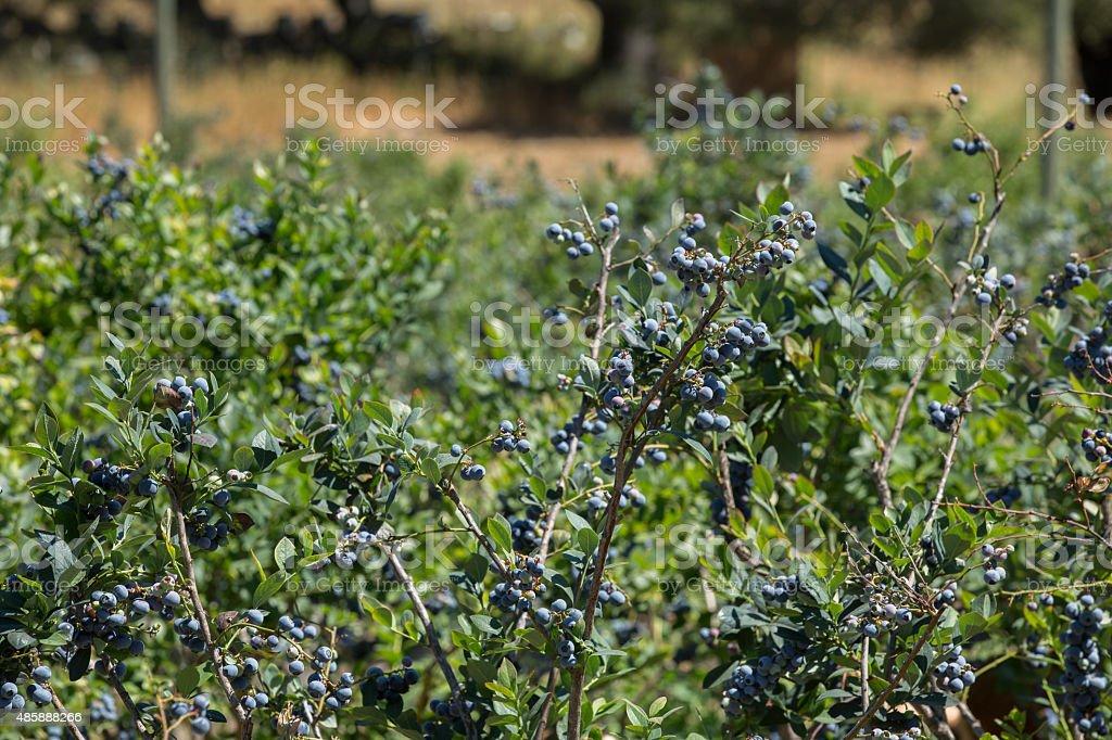 Row Of Blueberry Bushes stock photo