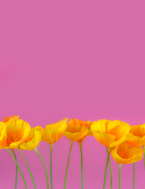 Row of California Golden  Poppies, in a row, studio shot against a pink background for a feminine floral background photo. stock photo
