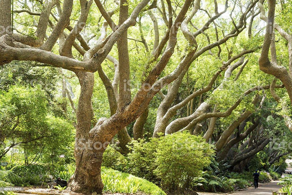 Row of Camphor trees stock photo