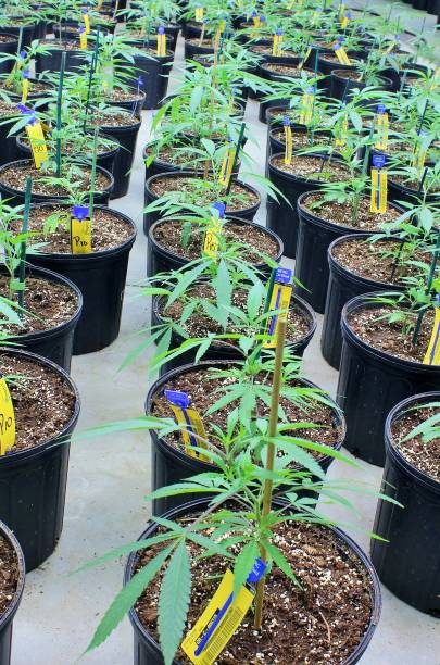 Row of cannabis plants in vegetative growth stage stock photo