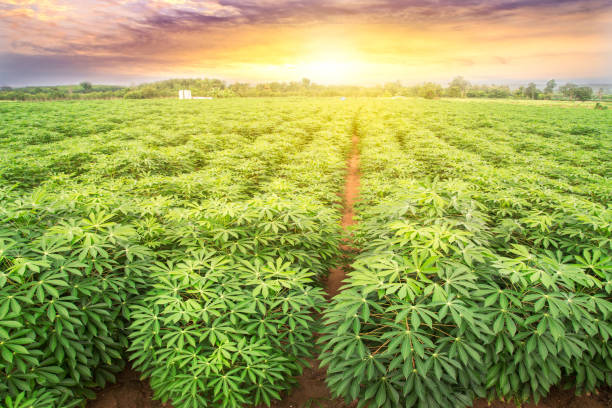 row of cassava tree in field. Growing cassava, young shoots growing. stock photo