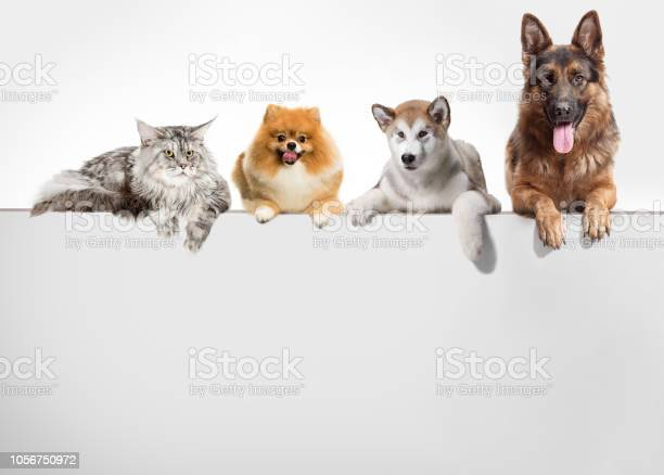 Row of cats and dogs hanging their paws over a white banner picture id1056750972?b=1&k=6&m=1056750972&s=612x612&h=ycutf5skvausnb3sanoxvy57bc5cnswcxwiwgbm lue=