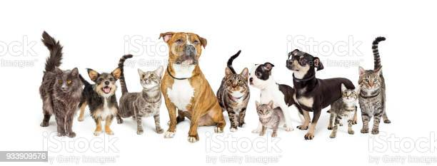 Row of cats and dogs together on white picture id933909576?b=1&k=6&m=933909576&s=612x612&h=ls6ekzclslv8yqtyeqli0pznn66kkdzivjj28q zboo=