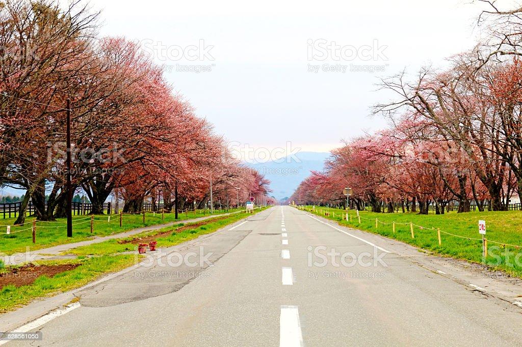 Row of cherry blossom trees of Shizunai royalty-free stock photo