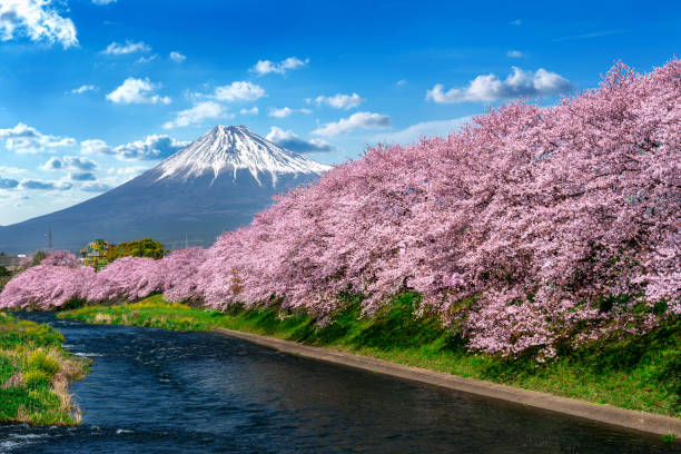 Row of Cherry blossoms and Fuji mountain in spring, Shizuoka in Japan. stock photo