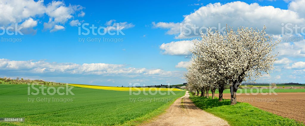 Row of Cherry Trees blooming along Dirt Road in Spring stock photo