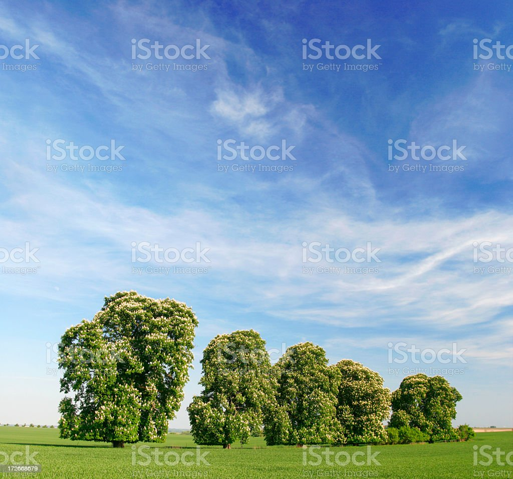 Row of Chestnut Trees Blossoming royalty-free stock photo