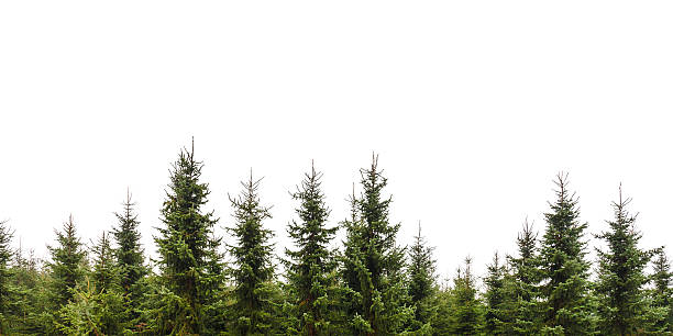 row of christmas pine trees isolated on white - ladin ağacı stok fotoğraflar ve resimler