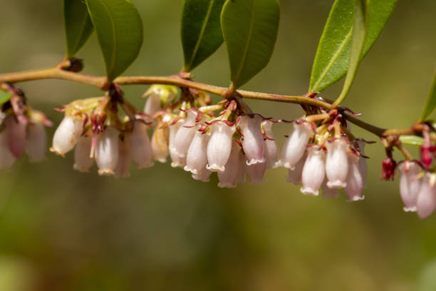 Row of clusters of pinkish white bell-shaped flowers dangling from branch Grouped Florida native blueberry blooms lined up along stem (Vaccinium spp.). Photo taken at John M. Bethea state forest in Northeast Florida. Nikon D7200 with Nikon 200mm macro lens blueberry plant stock pictures, royalty-free photos & images