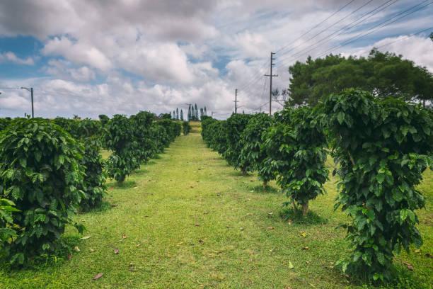 Row of coffee trees at coffee plantation on Oahu island stock photo