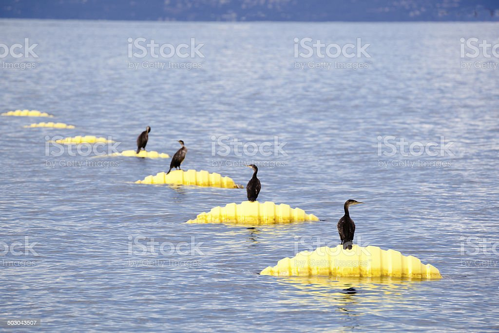row of cormorants roosting on yellow mussel farm buoys royalty-free stock photo