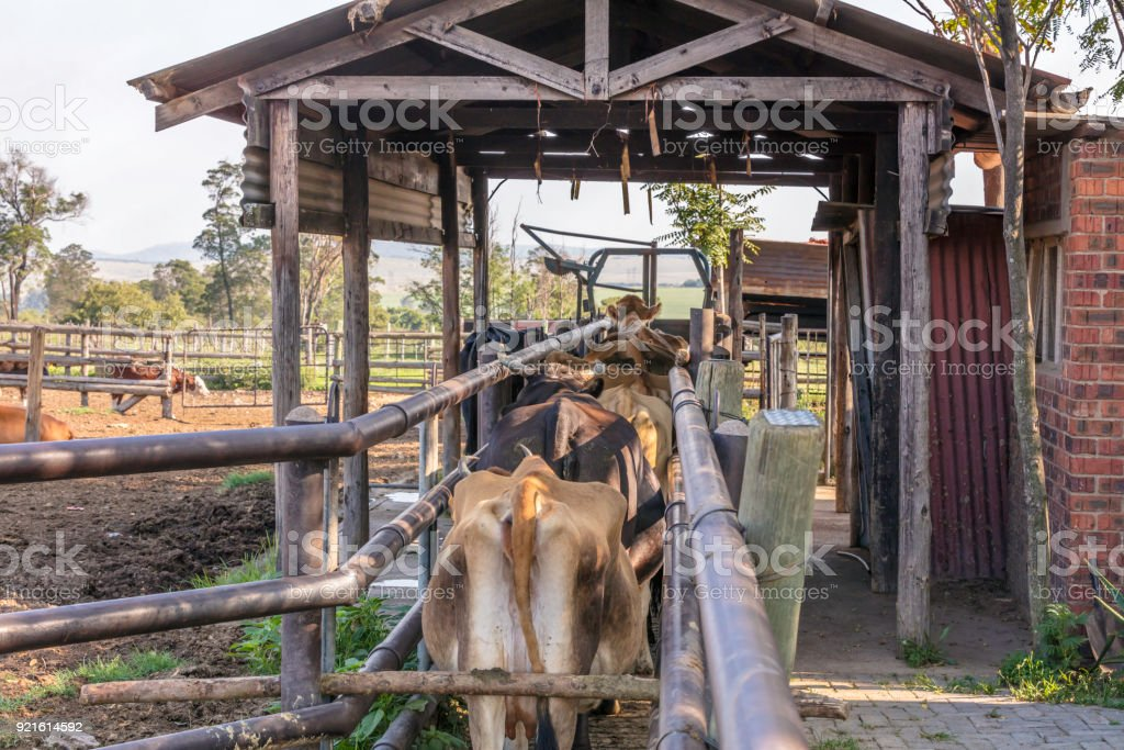 Row of cows in the queue ready  to get milked stock photo