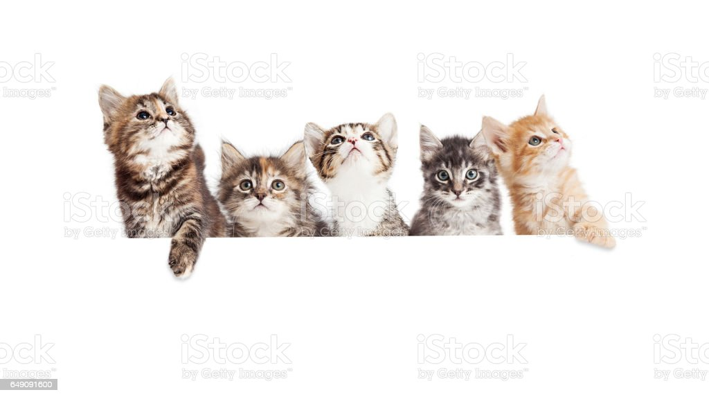 Row of Cute Kittens Hanging Over White Banner – zdjęcie