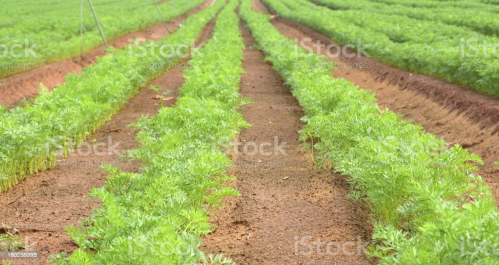 Row of dill in an agricultural farm royalty-free stock photo