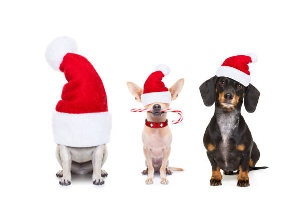 row of dogs on christmas holidays christmas  santa claus row of dogs isolated on white background,  with   funny  red holidays hat  and candy stick santa hat stock pictures, royalty-free photos & images