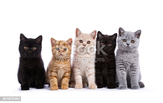 824824466 istock photo Row of five British Shorthair cats / kittens sitting isolated on white background 824825464
