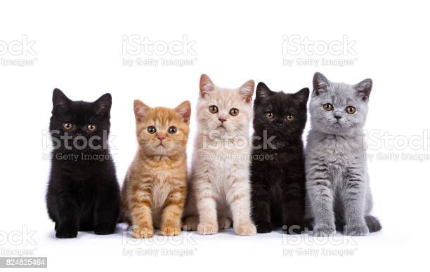 Row of five british shorthair cats kittens sitting isolated on white picture id824825464?b=1&k=6&m=824825464&s=612x612&h=dlvscwfeddcdixcdxumtyjaqz807p7cffsu1z9hxwmg=
