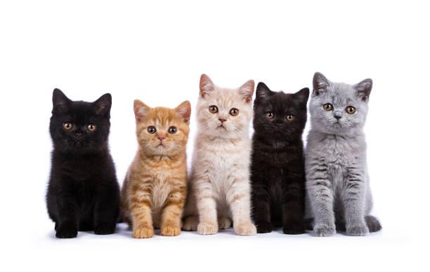 Row of five british shorthair cats kittens sitting isolated on white picture id824825464?b=1&k=6&m=824825464&s=612x612&w=0&h=z4mlfh wifasl6 jrz8vsodfdzac v8ryrgj7 jdhy0=