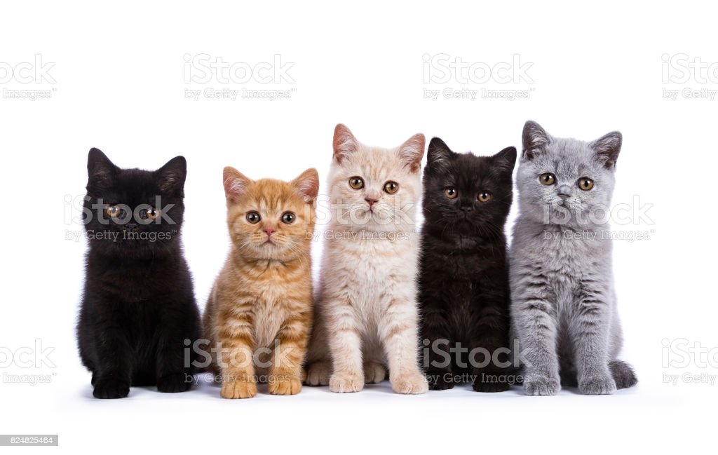 Row of five British Shorthair cats / kittens sitting isolated on white background stock photo