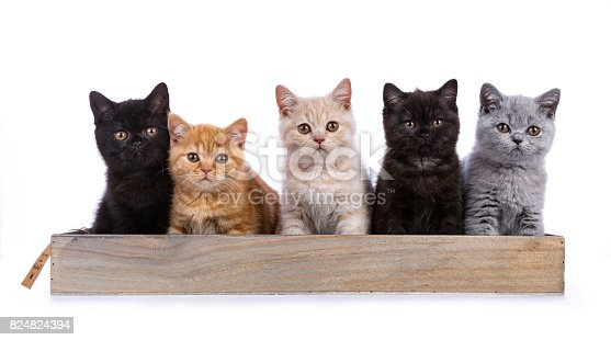824824466 istock photo Row of five British Shorthair cats / kittens sitting on a wooden tray isolated on white background / looking ate camera 824824394