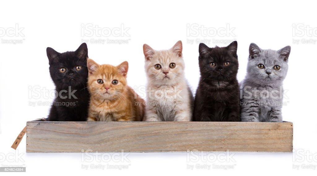 Rij van vijf Britse korthaar katten / kittens zittend op een houten lade geïsoleerd op een witte achtergrond / op zoek aten camera foto