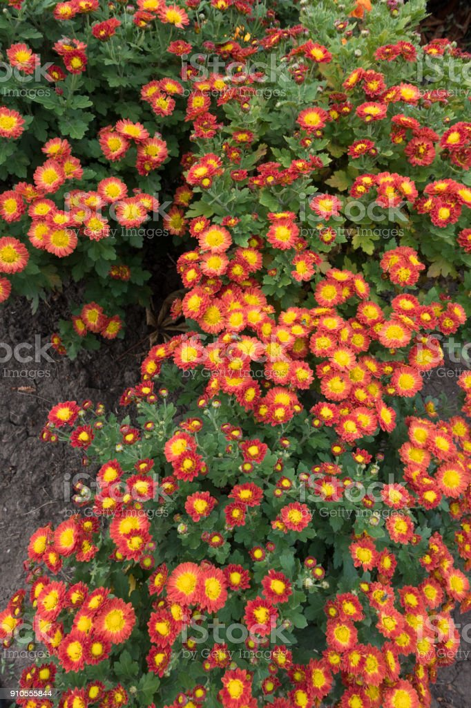 Row Of Flowering Red And Yellow Chrysanthemum Bushes Stock Photo