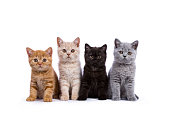 istock Row of four British Shorthair cats / kittens sitting isolated on white background facing camera 824824466