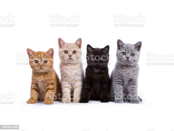 Row of four british shorthair cats kittens sitting isolated on white picture id824824466?b=1&k=6&m=824824466&s=612x612&h=mk00knczd3r4w9tbvahq6tzlluucmxwaxxhwcttivfu=
