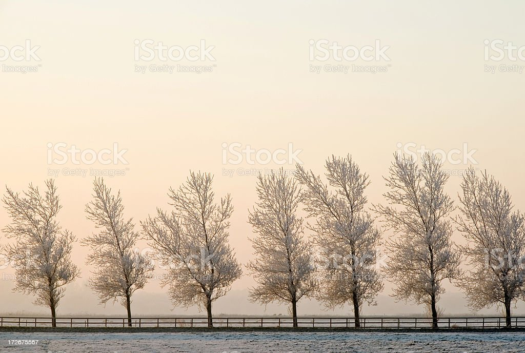 Row of Frosted Trees royalty-free stock photo