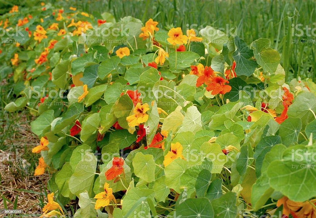 row of Garden Nasturtium royalty-free stock photo