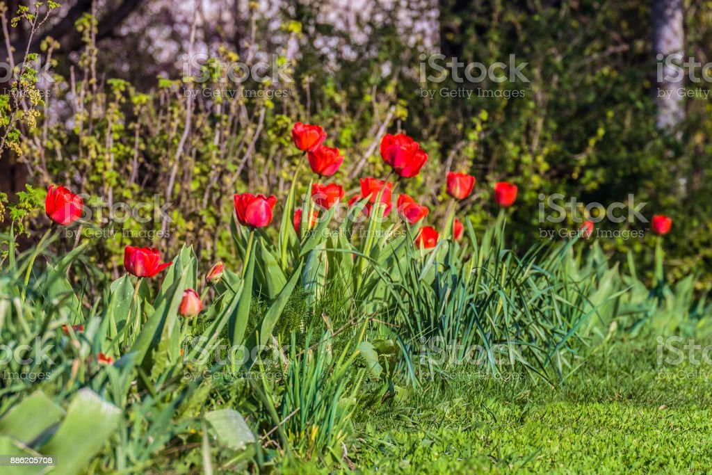 Row Of Garden Red Tulips Spring Flower Buds Natural Gardening
