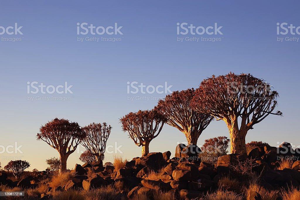 Row of Giant Quiver Tree stock photo