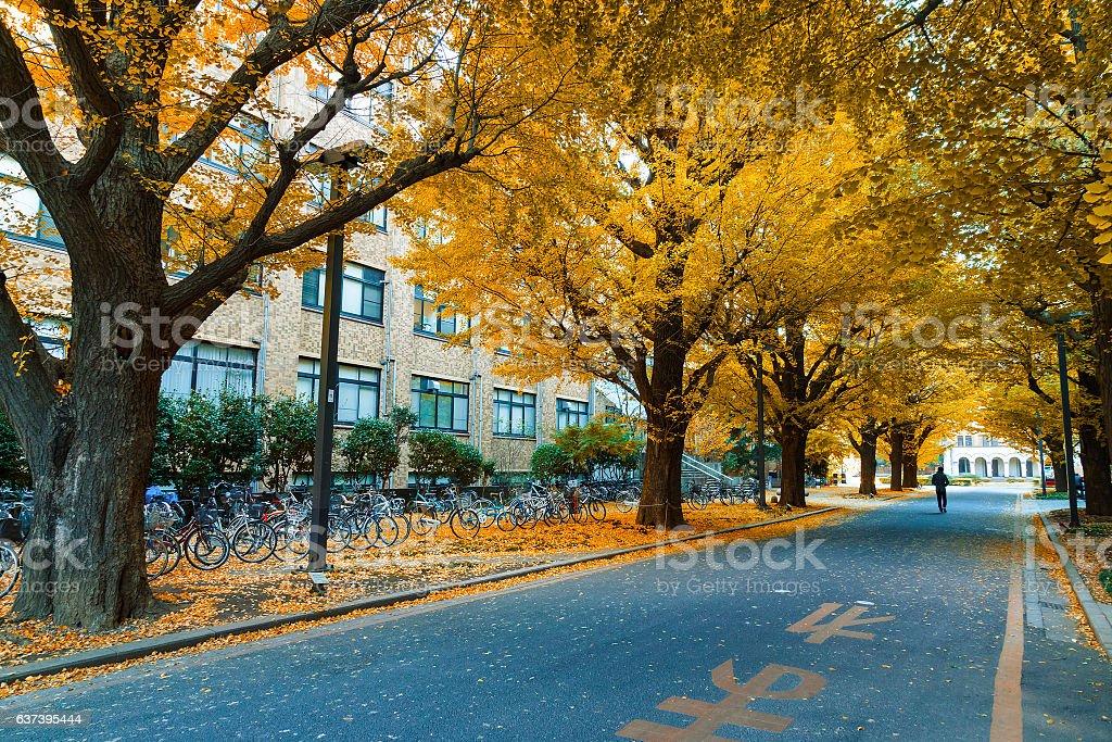 Row of ginkgo trees at Tokyo University in autumn stock photo